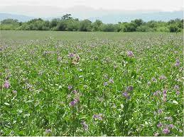 daun alfalfa